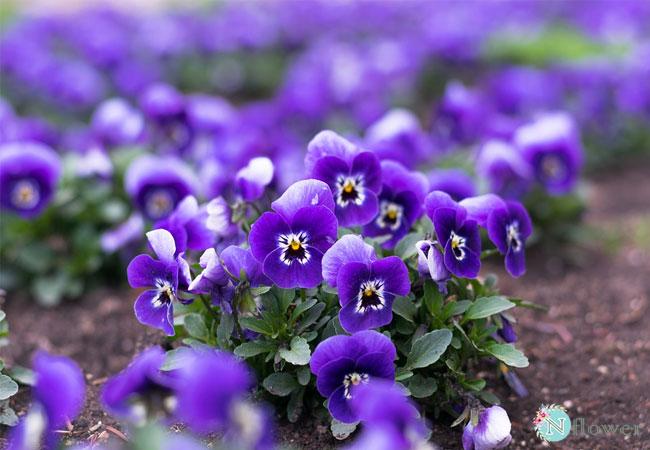 bật mí cái tên violet