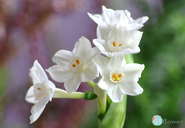 hình ảnh hoa thủy tiên 4
