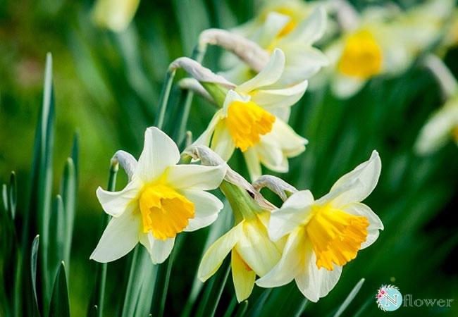 hình ảnh hoa thủy tiên 6
