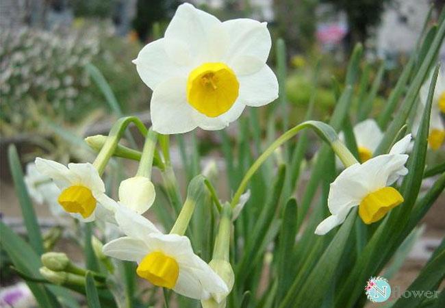 hình ảnh hoa thủy tiên 7