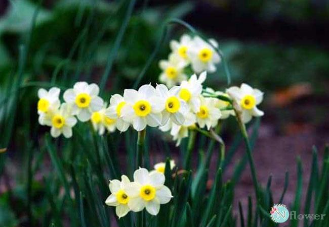 hình ảnh hoa thủy tiên 8