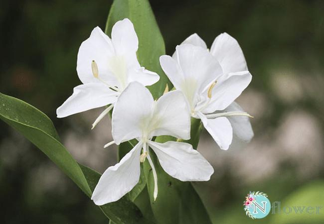 hoa bạch yến