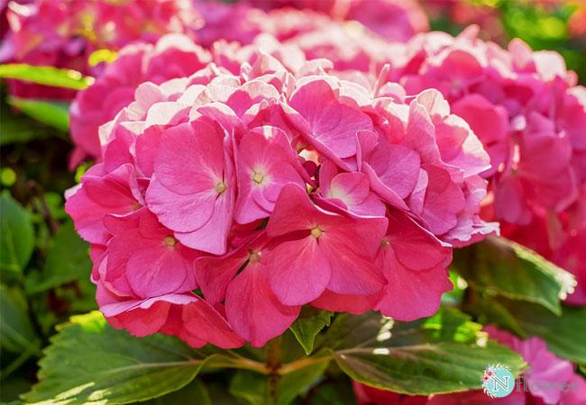 hoa cẩm tú cầu hồng 1