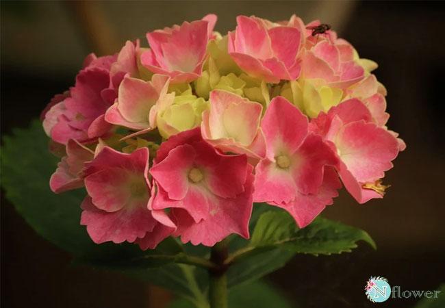hoa cẩm tú cầu hồng 2