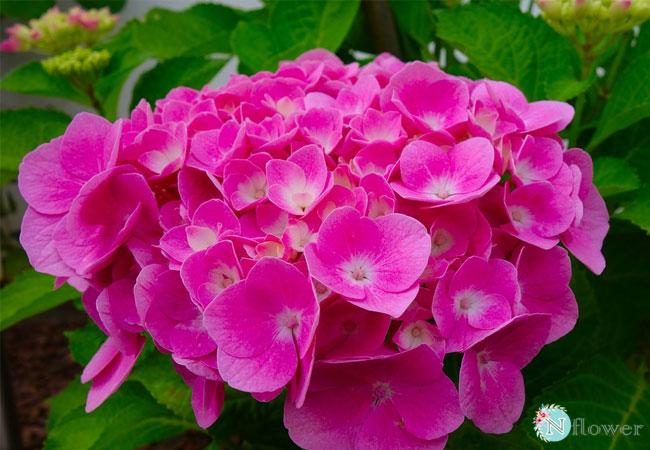 hoa cẩm tú cầu hồng 4