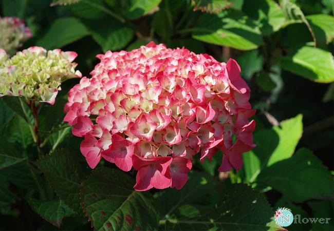 hoa cẩm tú cầu hồng 5