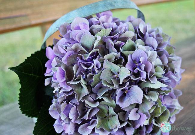 hoa cẩm tú cầu tím 2