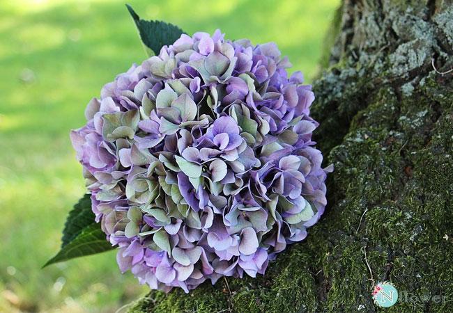 hoa cẩm tú cầu tím 3