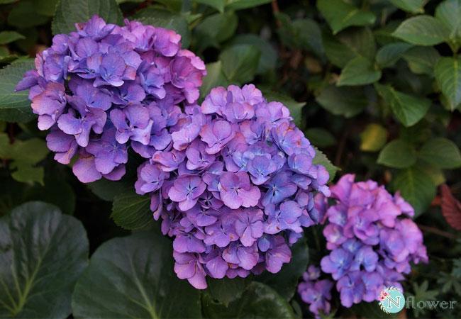 hoa cẩm tú cầu tím 4