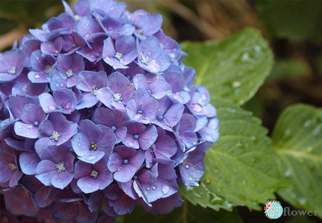 hoa cẩm tú cầu tím 5