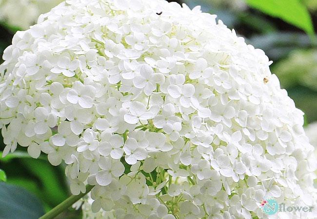 hoa cẩm tú cầu trắng 1