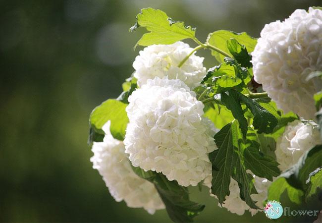 hoa cẩm tú cầu trắng 2