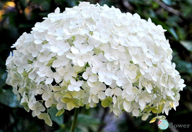 hoa cẩm tú cầu trắng 4