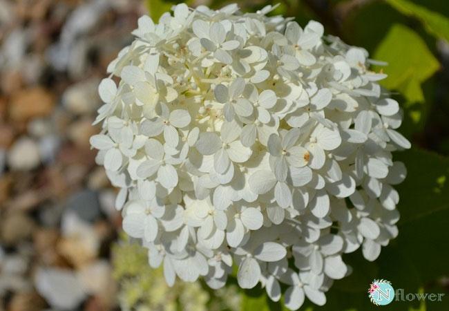 hoa cẩm tú cầu trắng 5