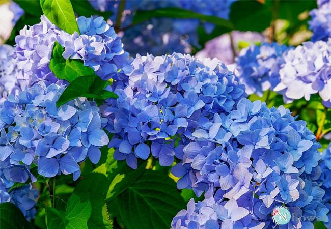 hoa cẩm tú cầu xanh 1