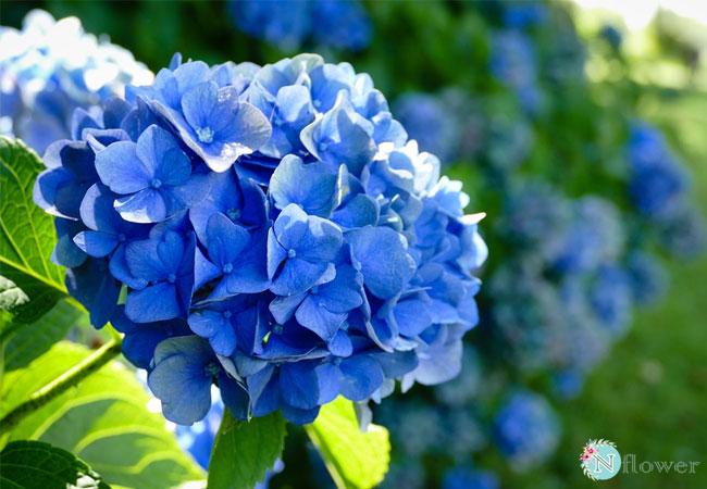 hoa cẩm tú cầu xanh 2