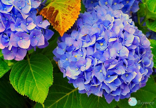hoa cẩm tú cầu xanh 3