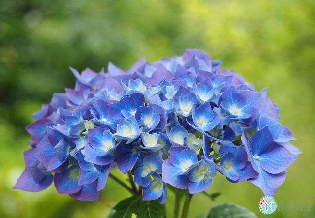 hoa cẩm tú cầu xanh 4