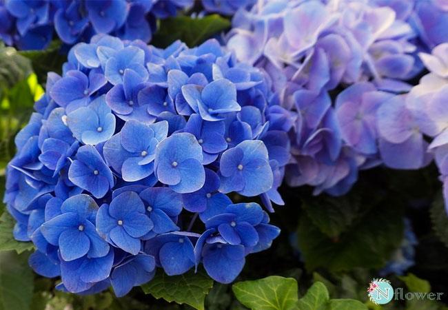 hoa cẩm tú cầu xanh 5