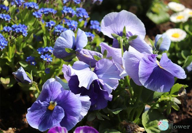vì sao gọi là hoa violet