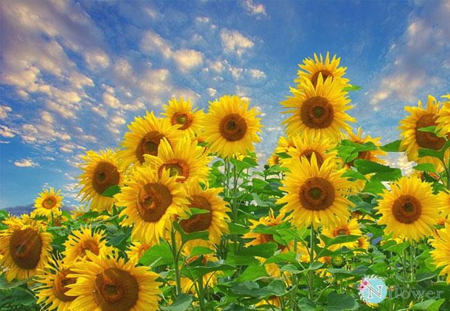 cánh đồng hoa hướng dương 5