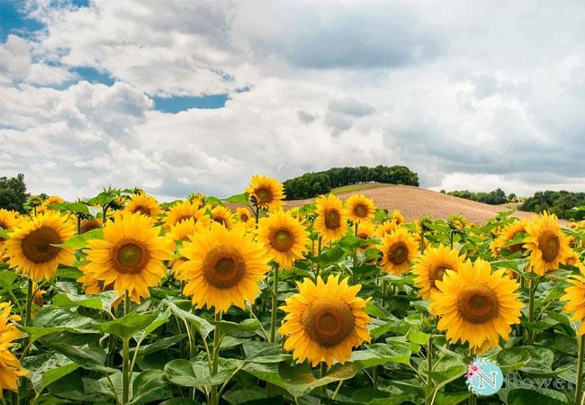 cánh đồng hoa hướng dương 7