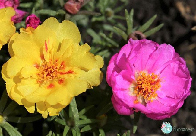 hình ảnh hoa mười giờ 1