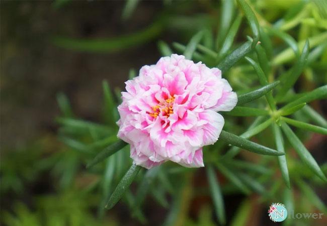 hình ảnh hoa mười giờ 3