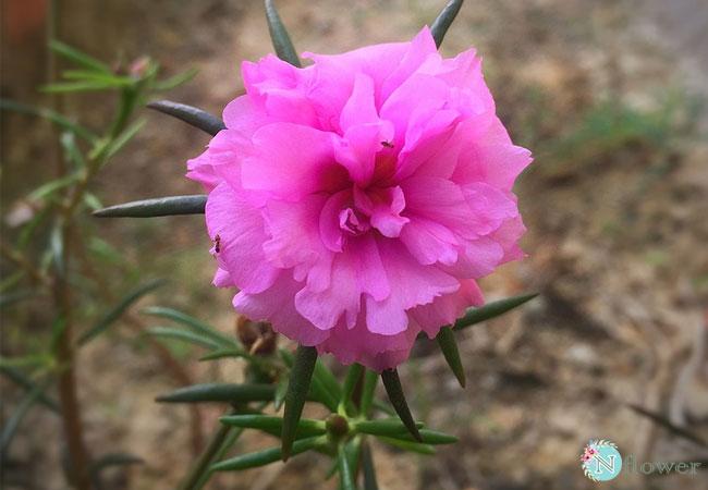hình ảnh hoa mười giờ 5