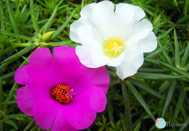 hình ảnh hoa mười giờ 6