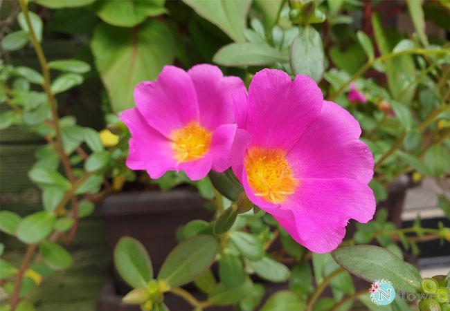 hình ảnh hoa mười giờ 7