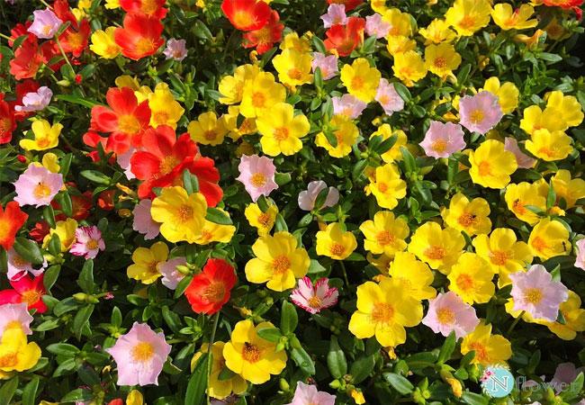 hình ảnh hoa mười giờ 8