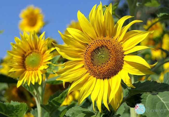 hình hoa hướng dương 3