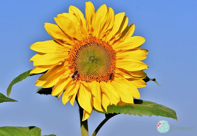 hình hoa hướng dương 5