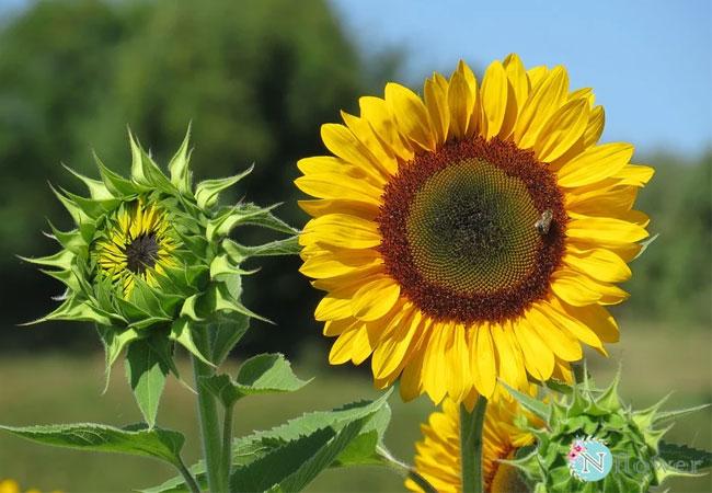 hình hoa hướng dương 6