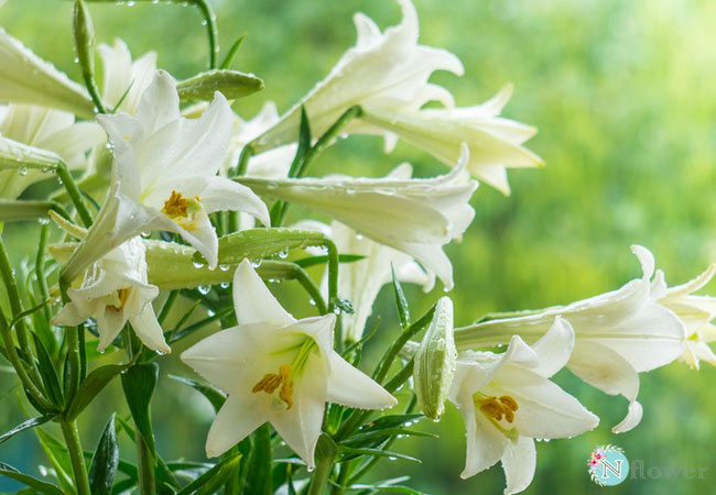 Ý nghĩa hoa loa kèn