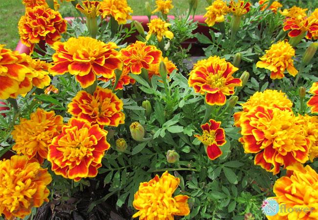 cách trồng hoa cúc 1