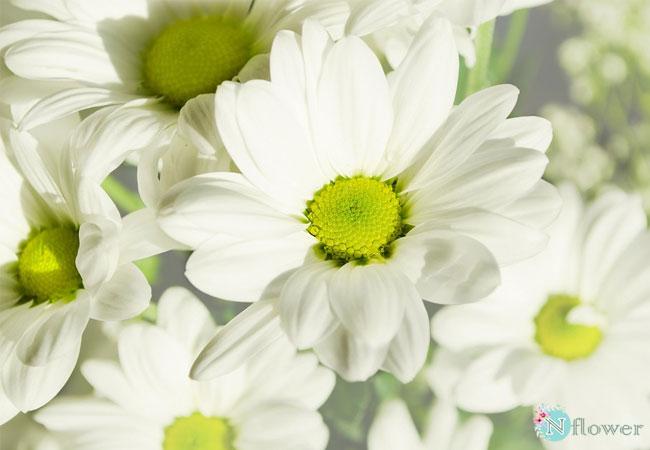 đặc điểm của hoa cúc