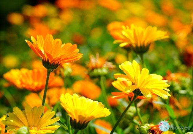 hình ảnh hoa cúc 10