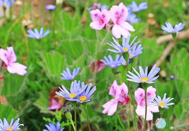 hình ảnh hoa cúc 11