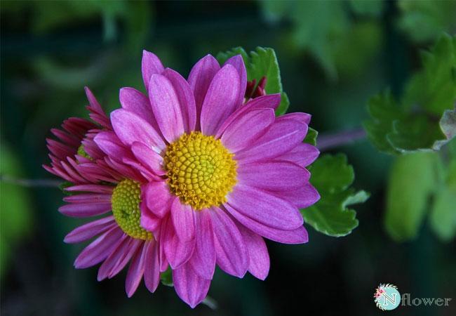 hình ảnh hoa cúc 12