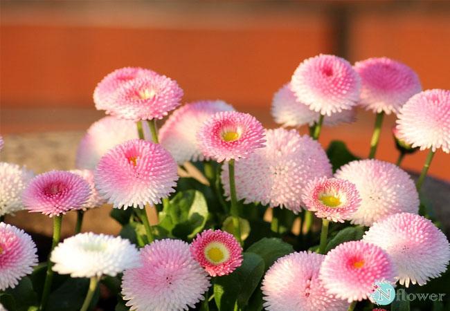 hình ảnh hoa cúc 13