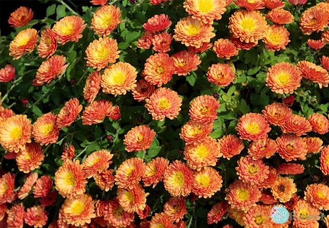 hình ảnh hoa cúc 14