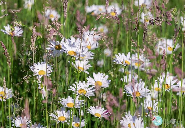 hình ảnh hoa cúc 5