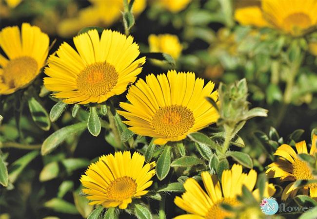 hình ảnh hoa cúc 7