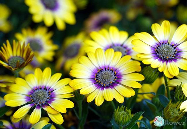 hình ảnh hoa cúc 8