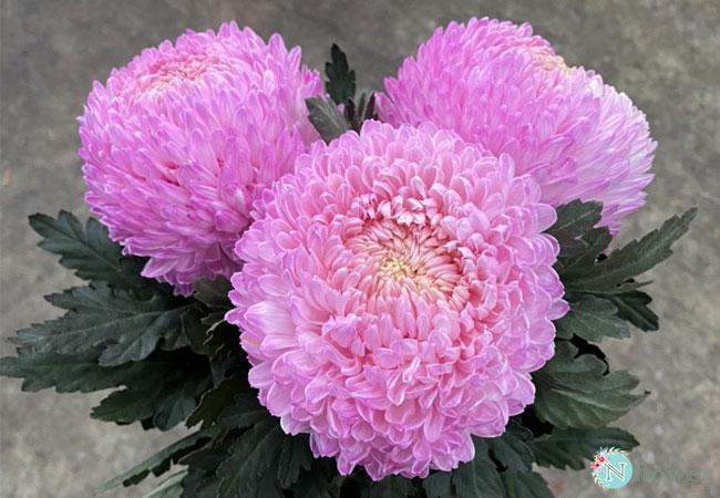 hoa cúc mẫu đơn