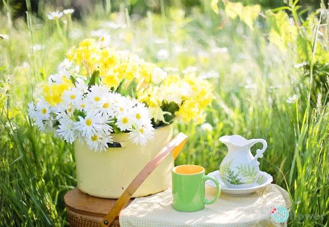 trà hoa cúc 3