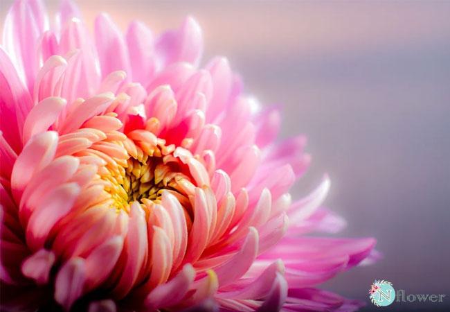 ý nghĩa hoa cúc theo màu sắc