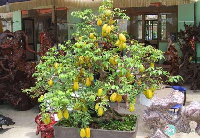 cây ăn quả trồng chậu 2
